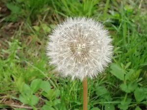 picture of dandelion